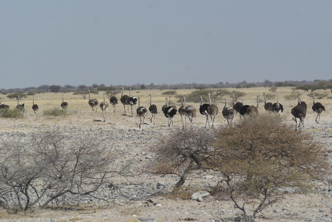 Ostrich, Damaraland, namibia