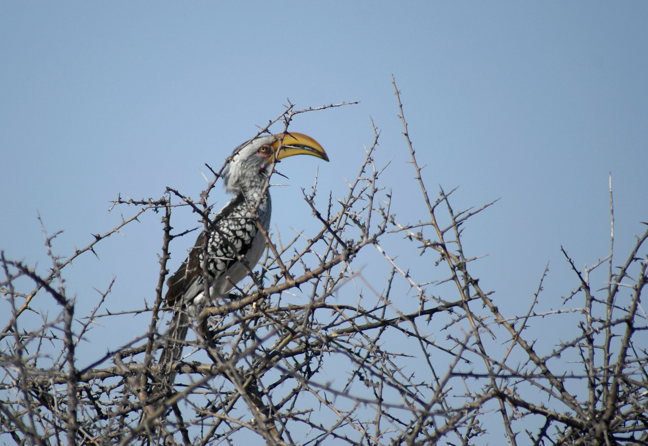 Hornbill, Kalahari Desert, Botswana