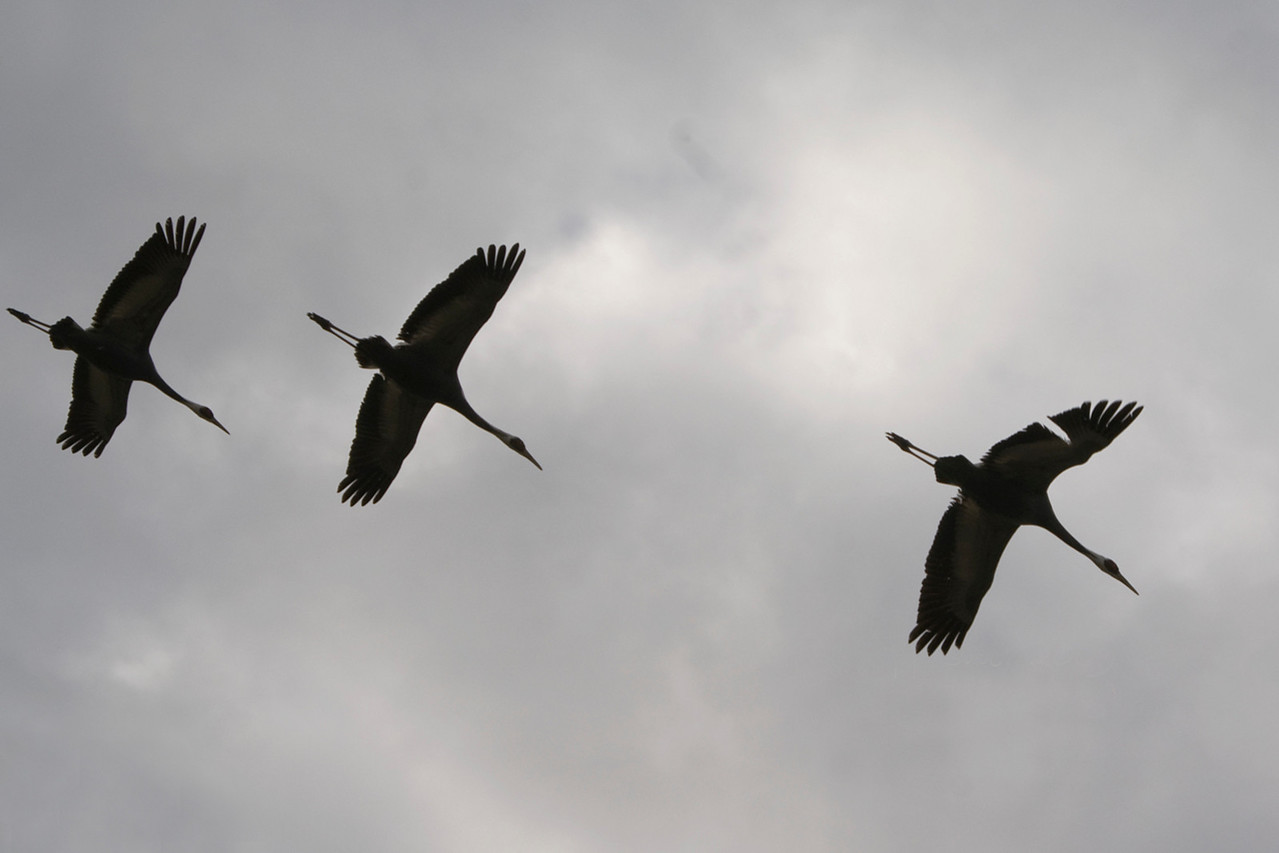 Crane, Arasaki Crane Reserve, Japan