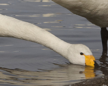 Whooper Swan, Lake Kussharo, Japan