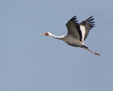 Crane, Arasaki Crane Reserve, Kumamoto, Japan