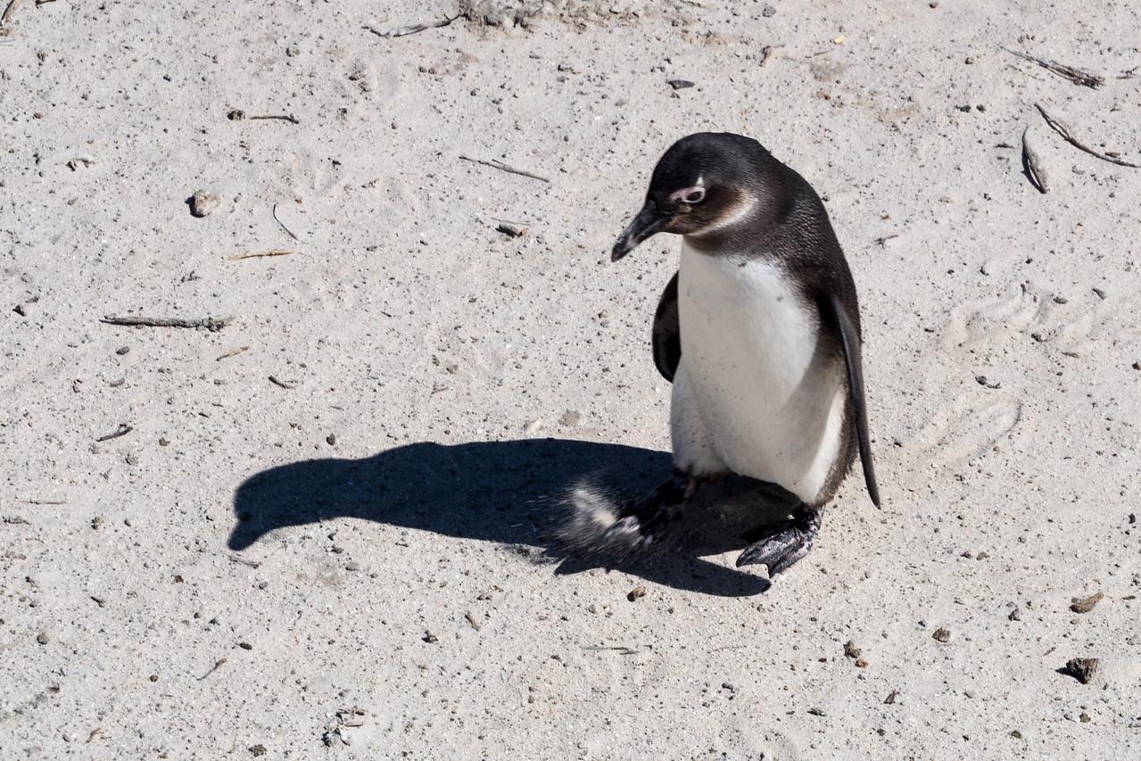 Jackass Penguin, Boulder Beach, South Africa