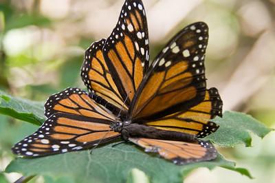 Monarch Butterfly, Piedra Herrada Sanctuary, Mexico