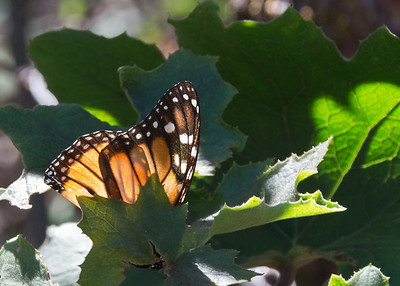 Monarch Butterfly, Chincua Butterfly Sanctuary, Mexico