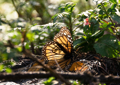 Monarch Butterfly, El Rosario Butterfly Sanctuary, Mexico
