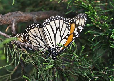 Monarch Butterfly, El Rosario Butterfly Sanctuary, Mexico