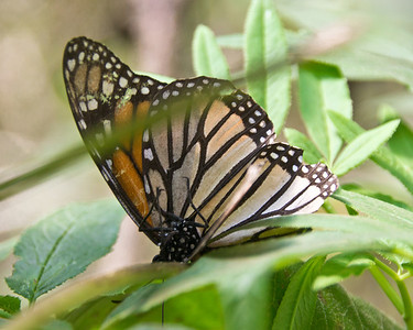 Monarch Butterfly, Piedra Herrada Sanctuary, Mexico