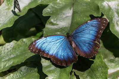 Blue Morpho Butterfly, Green Hills Butterfly Ranch, Belize