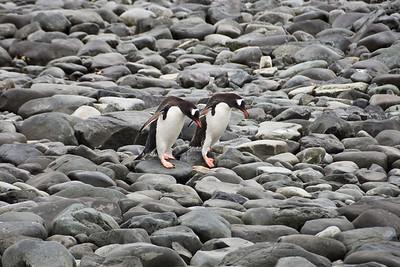 Gentoo Penguin, Ardley Island, Antarctica