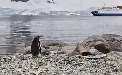 Gentoo Penguin, Danco Island, Antarctica