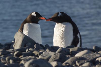 Gentoo Penguin, Half Moon Island, Antarctica