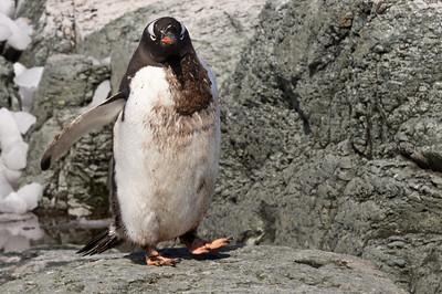 Gentoo Penguin, Mikkelsen Harbour, Antarctica