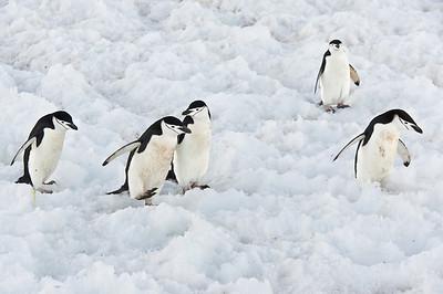 Chinstrap Penguin; Half Moon Island, Antarctica