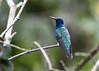 White-necked Jacobin (male), Chan Chich, Belize