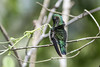 White-necked Jacobin (female), Chan Chich, Belize