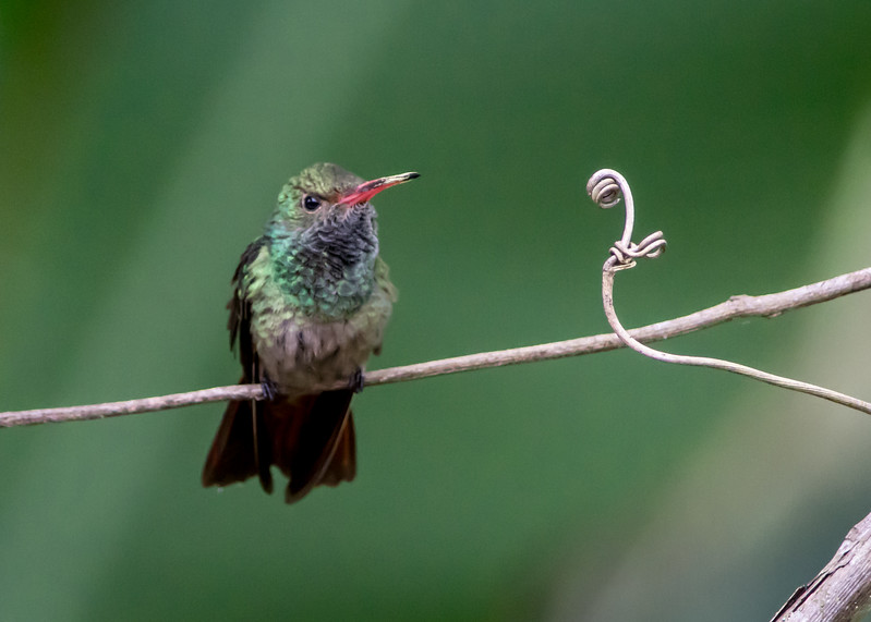 Rufous-tailed Hummingbird, Chan Chich, Belize