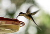 Western Long-tailed Hermit, Chan Chich, Belize