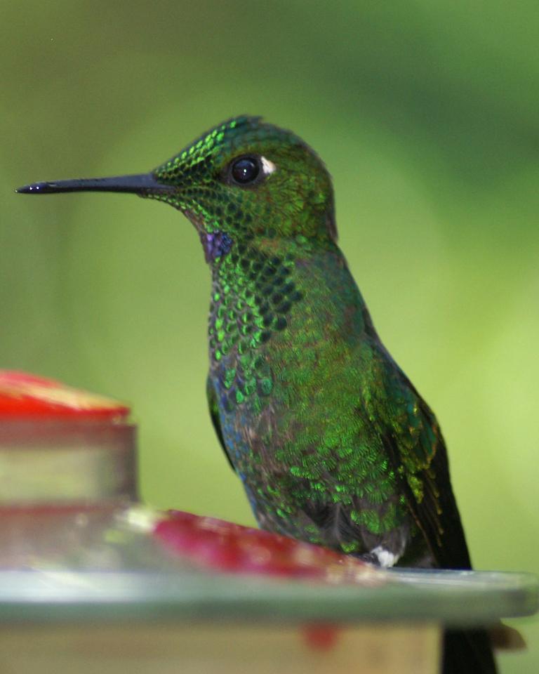 Hummingbird, Monteverde, Costa Rica