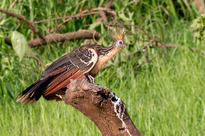 Hoatzin, Northern Pantanal, Brazil
