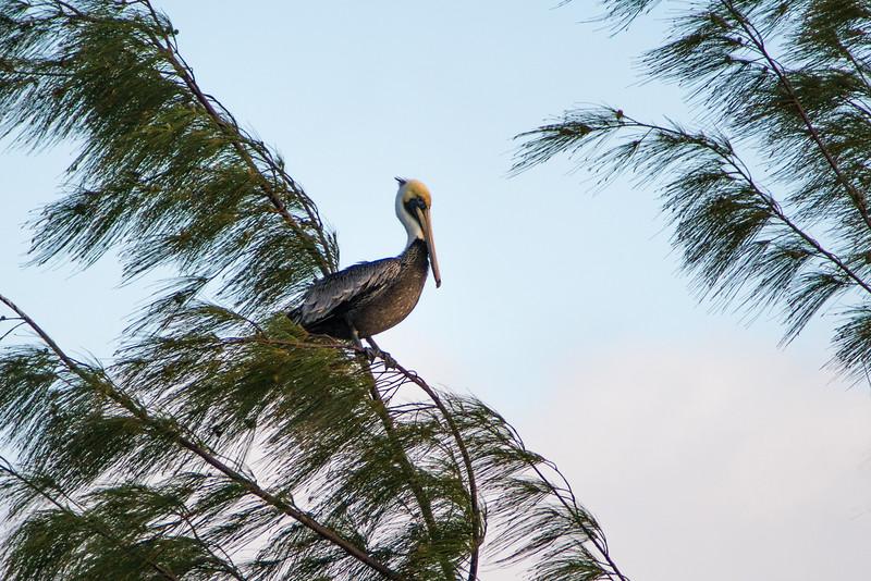 Brown Pelican, Hopkins Bay, Belize