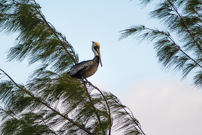 Brown Pelican, Hopkins Bay, Belize