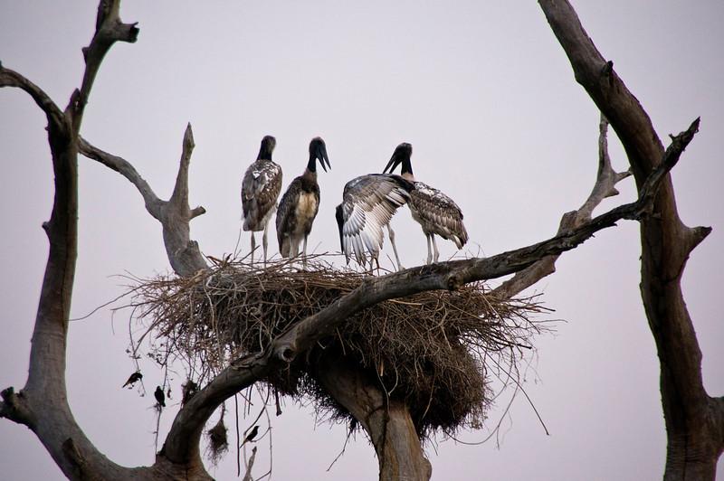 Jabiru Storks, Northern Pantanal, Brazil