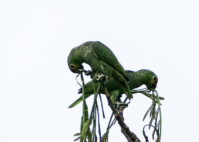 Mealy Parrot, Chan Chich, Belize