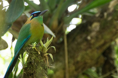 Blue-crowned Motmot - Monteverde Cloud Forest Reserve, Monteverde, Costa Rica