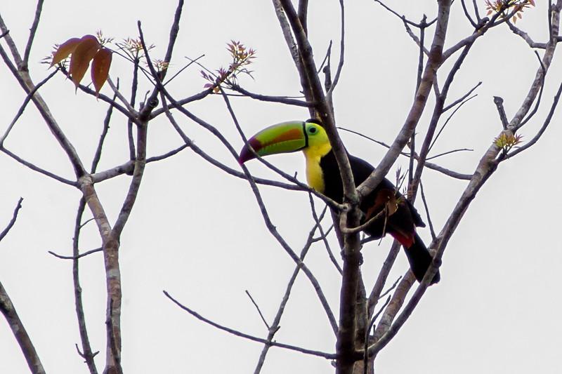Keel-billed Toucan, Chan Chich, Belize
