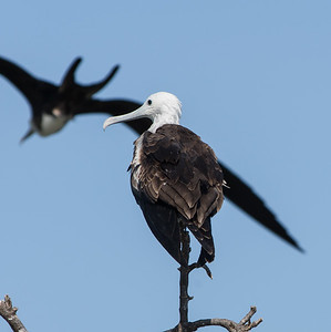 Magnificent Frigatebird (female), Man of War Caye, Belize