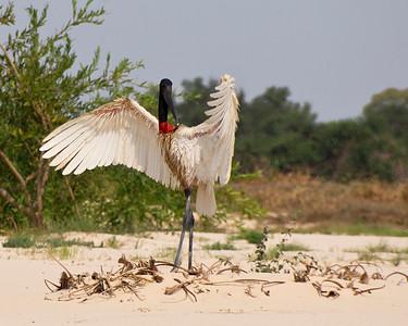 Jabiru Stork, Northern Pantanal, Brazil