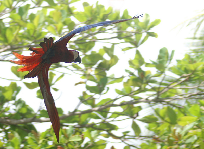 Scarlet Macaw, Corcovada, Costa Rica