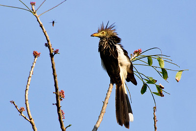 Juira Cuckoo, Northern Pantanal, Brazil