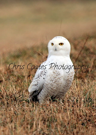 Snowy Owl Comes South