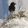 Common Raven on Sentinel Dome (Half Dome in the background).  Scientists continually produce new studies expounding on the remarkable intelligence of these fascinating birds.  In terms of solving problems and creating tools, adult ravens typically score about the same as an average six-year old human child.  Copyright © 2008 James McGrew.