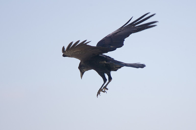 Common Raven about to alight.
