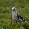 What are you lookin at?  (Clark's Nutcracker).  Copyright © 2004 James McGrew.