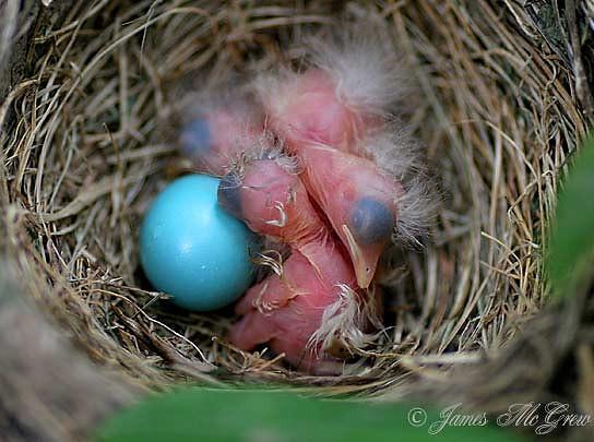 American Robin Nestlings and Egg.