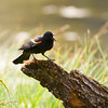 Red-winged Black Bird calling in Cook's Meadow, Yosemite.