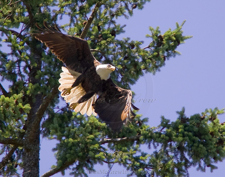 Bald Eagle Takes Flight on Independence Day.  ©2011, James McGrew.  While spending July 4th with my family at the Lake Grove Swim Park in Lake Oswego, I focused on an osprey on the top of this Douglas Fir.  However, it took off when this bald eagle swooped into the tree.  Onlookers kept approaching me and asking why I was laying on the ground with a long white lens aiming up into the sky.  The Eagle was mostly hidden in the shade of the upper branches and undetected by most observers.  Eventually the eagle took off again and soared out across the lake, giving me a brief opportunity to take this photograph.