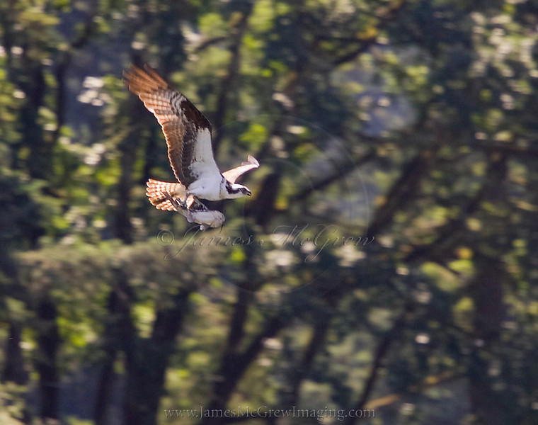 An osprey with a catfish in its talons struggles to gain altitude over Lake Oswego.  ©2011, James McGrew.