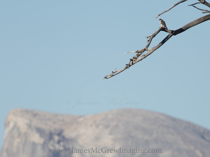 Adult peregrine falcon perches in a snag with the brow of Half Dome in the distance.