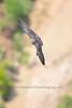 Juvenile Peregrine in Zion National Park (C)2018