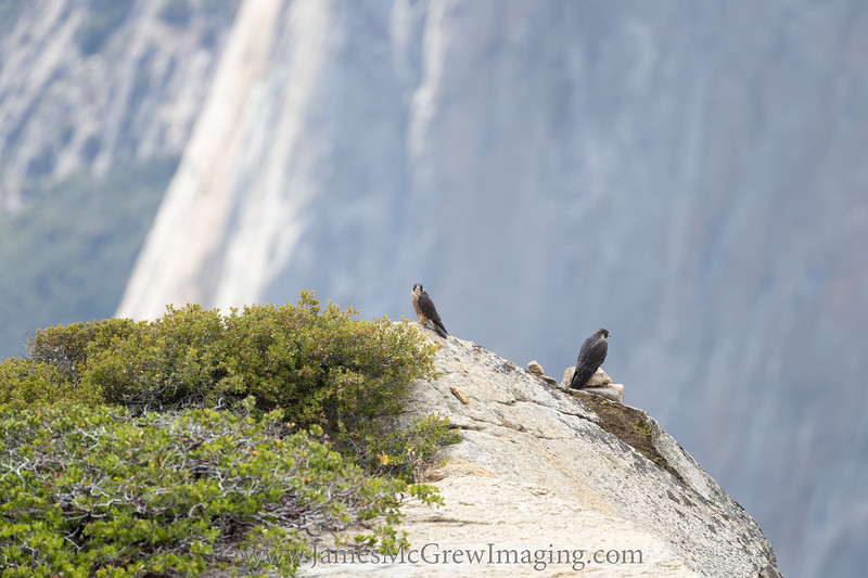 Juvenile Peregrine falcons with El Capitan in the background. (C) 2018