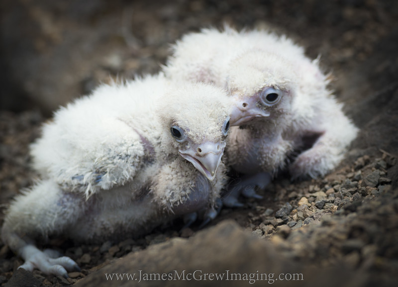 These are actually Gyrfalcon chicks but they look similar to peregrines at this age.  These were being legally bred in captivity by a licensed and regulated falconer in Oregon.  I would otherwise never attempt to get even reasonably close to wild falcon chicks because it can result in injury or fatality if the parents get disturbed enough or should the chicks panic and fall from an eyrie.