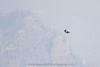 Juvenile Peregrine Falcon soaring over Yosemite High Country.