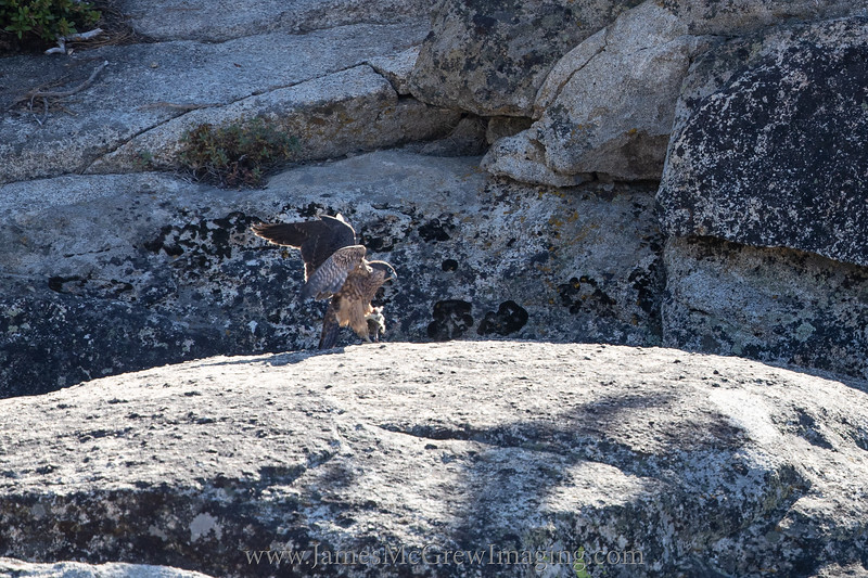 Juvenile peregrine falcon with a meal in talons seeks shelter from its hungry siblings.