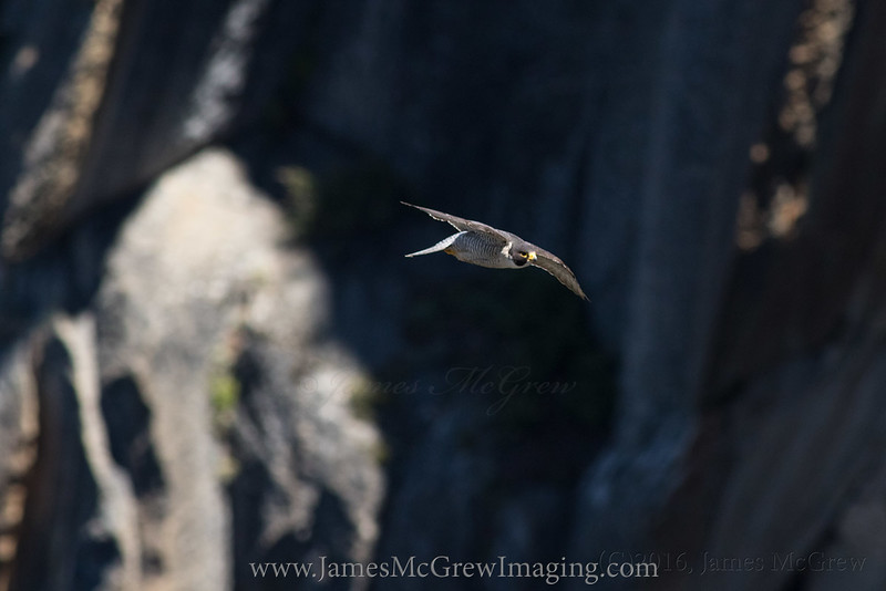 Adult Male Peregrine Falcon in Yosemite.