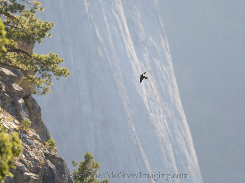 Peregrine Falcon with the Cathedral Rocks in the background.