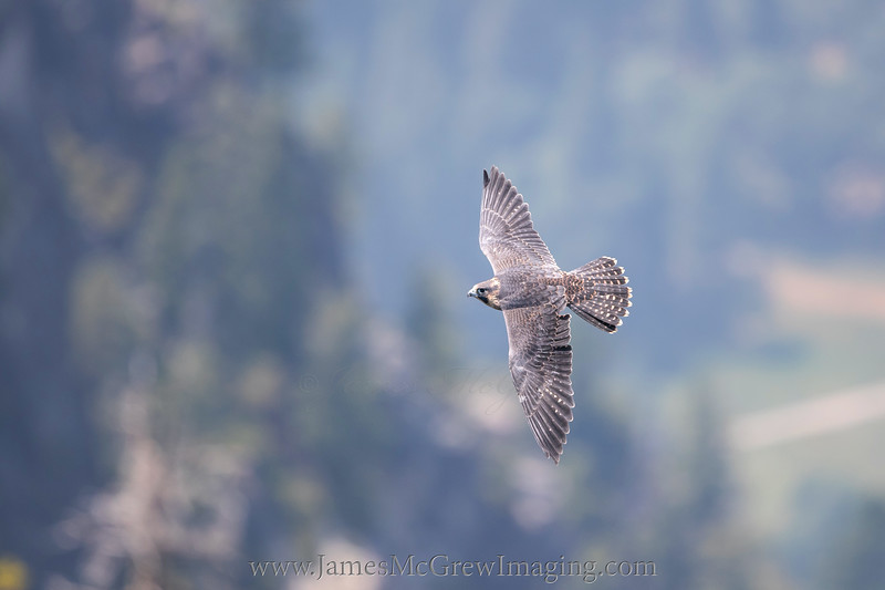 Juvenile Peregrine falcon flying past Glacier Point, 2018.